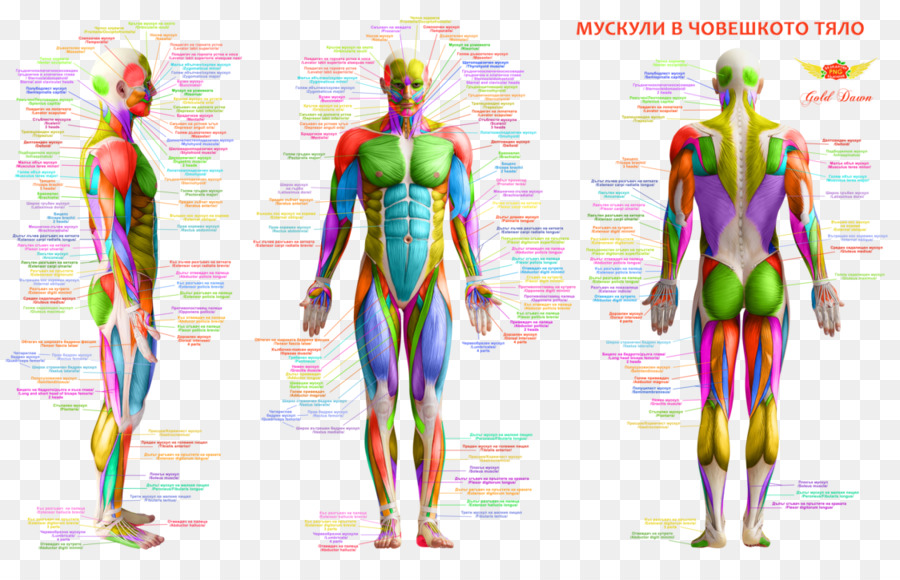 Músculo del cuerpo Humano, espalda Humana anatomía Humana - cuerpo ...