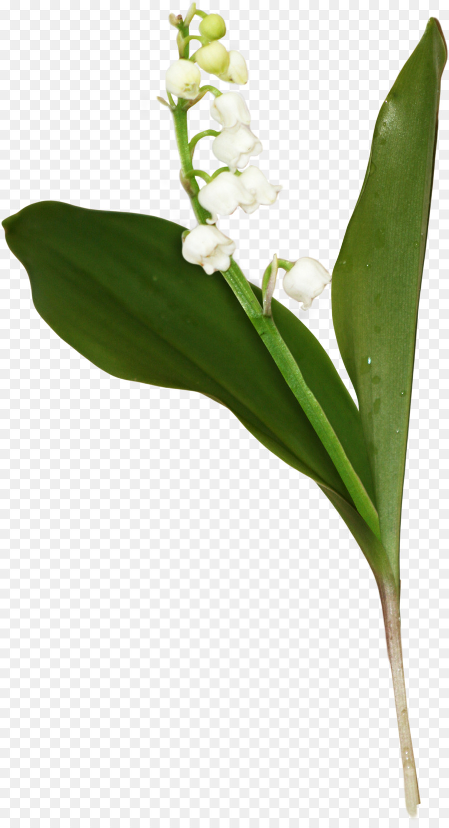 Flower floral design clip art lily of the valley png download flower floral design clip art lily of the valley izmirmasajfo