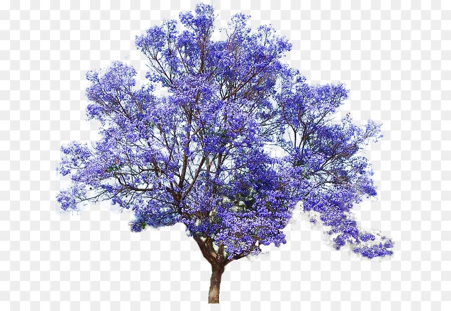 Top Jacaranda mimosifolia Kaiserin Baum Samen Bonsai - Blume Baum png &NJ_64