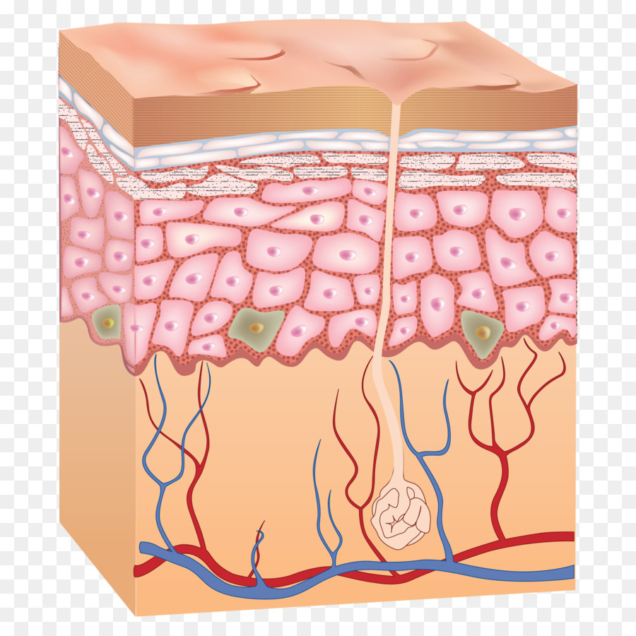 Epidermis Human Skin Anatomy Skin Png Download 15001500 Free