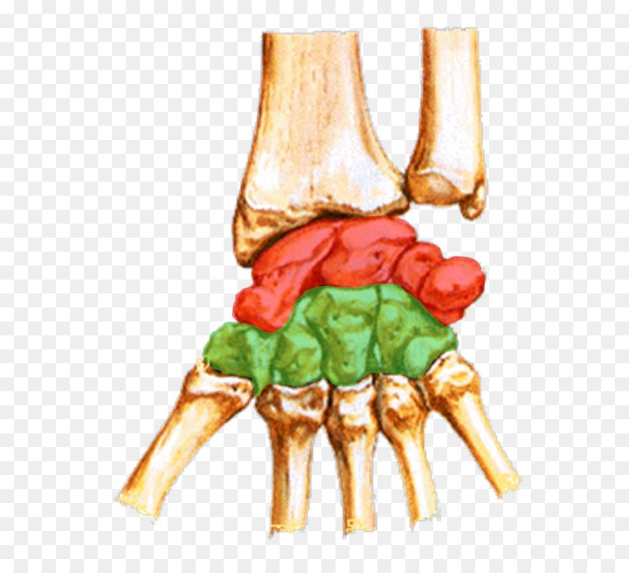 Scaphoid Bone Carpal Bones Wrist Trapezium Triquetral Bone Mural