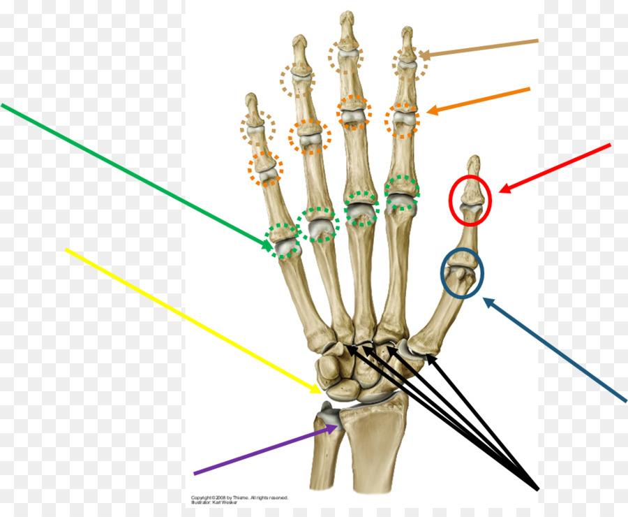Prometheus LernAtlas der Anatomie Metacarpophalangeal-Gelenk Finger ...