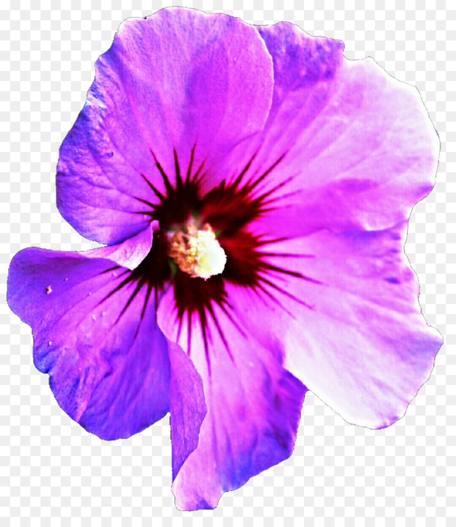 Purple Hibiscus Mallows Clip Art Purple Background Png Download