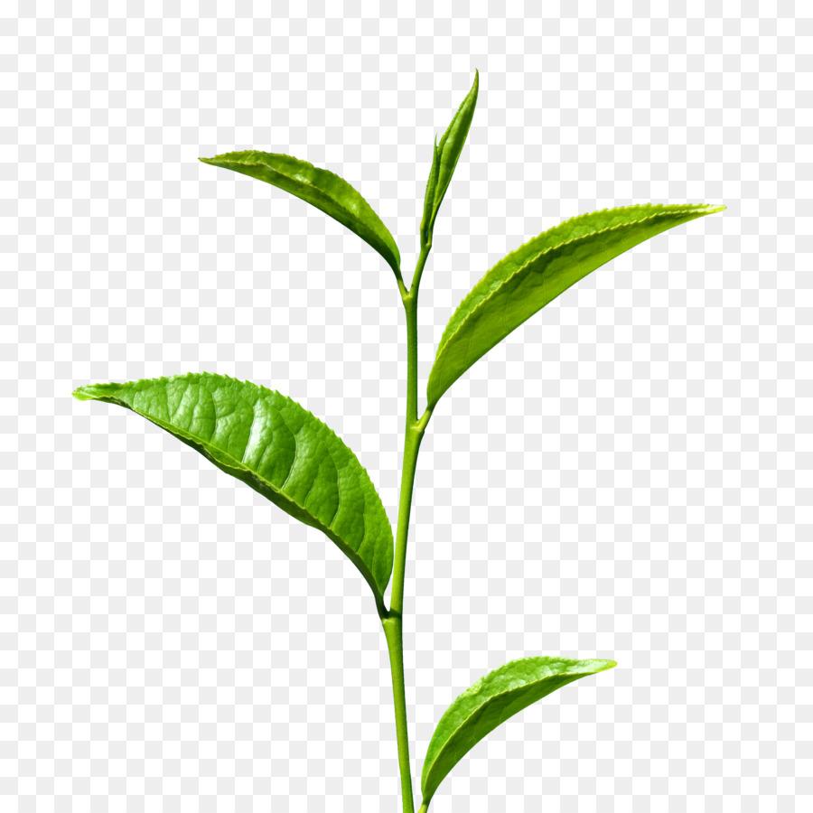 Green Tea Matcha White Tea Tea Production In Sri Lanka Matcha Png