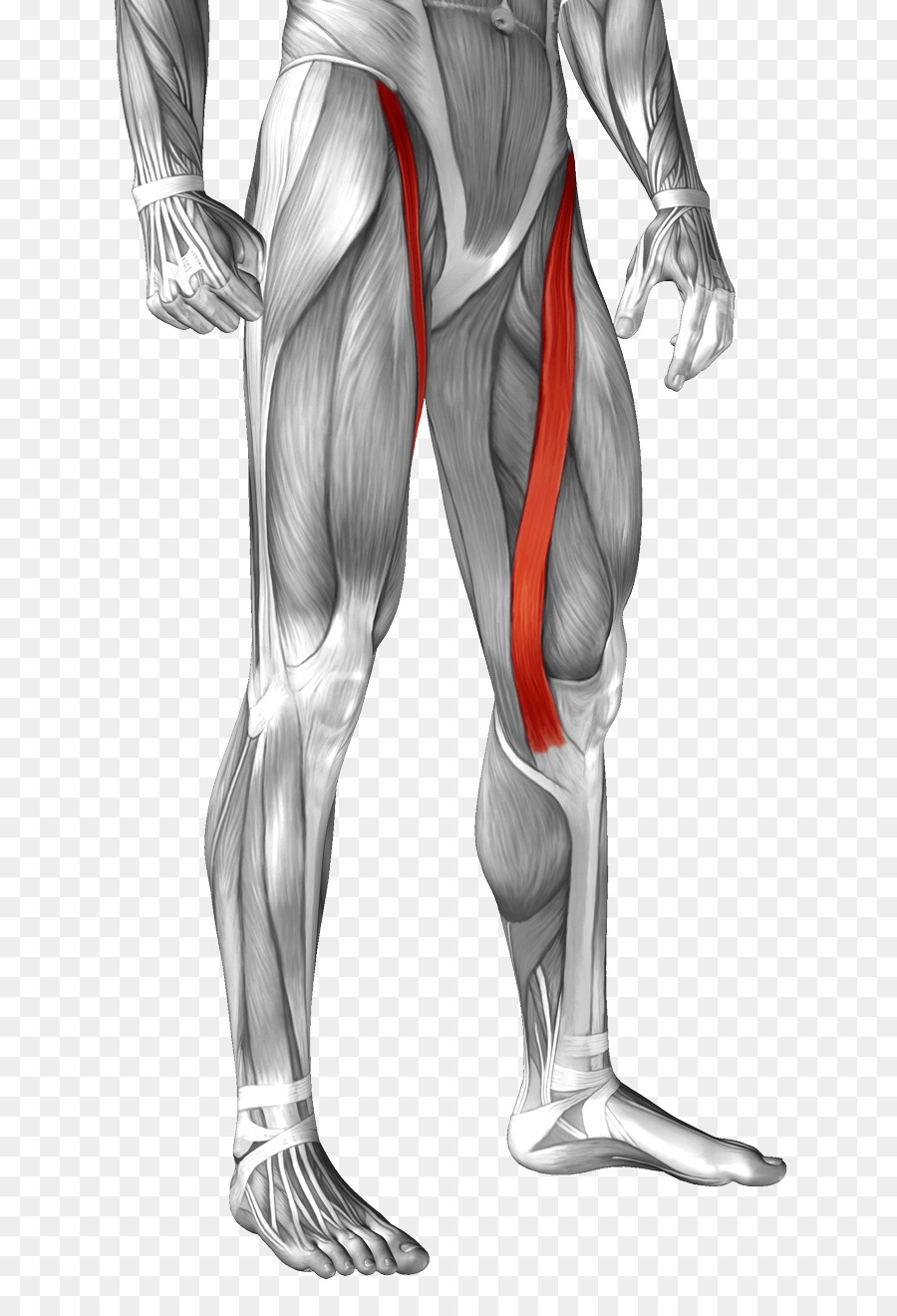 Sartorius muscle Anatomy Rectus femoris muscle Human body - muscle ...