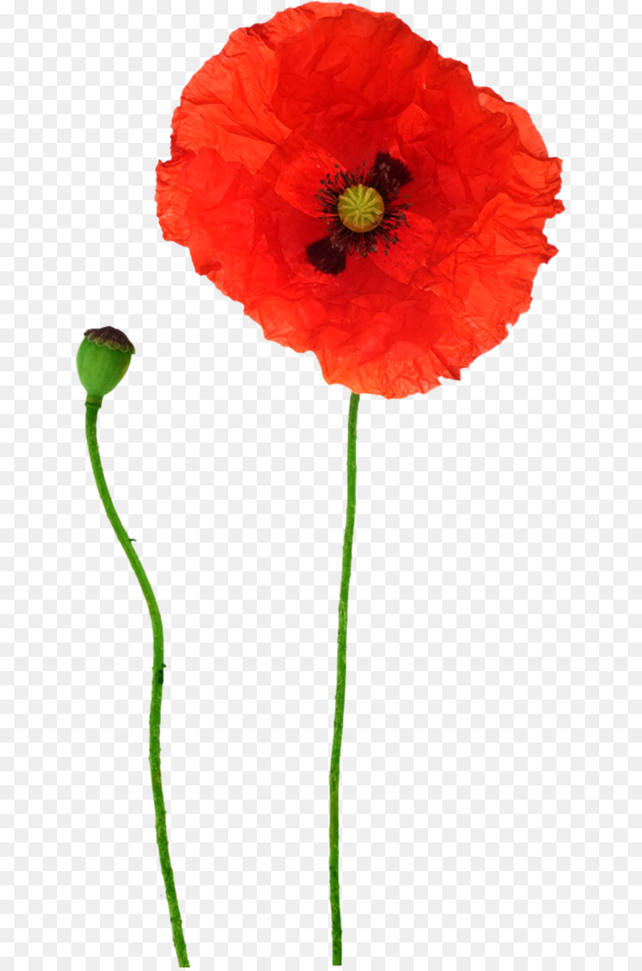 Opium poppy flower red poppy png download 6891355 free opium poppy flower red poppy mightylinksfo