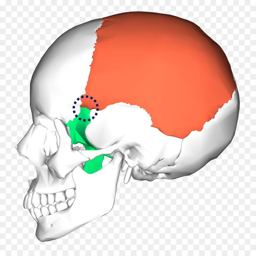 Occipital Bone Skull Temporal Bone Anatomy Look Png Download
