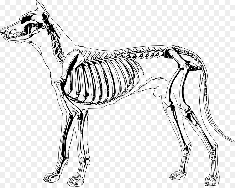 Dog anatomy Human skeleton - Skeleton png download - 2400*1906 ...