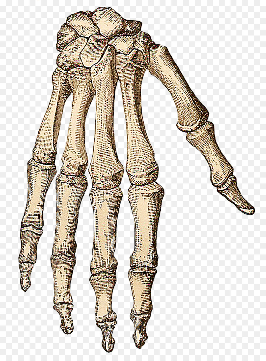 Human skeleton Hand Bone Clip art - Skeleton png download - 1050 ...