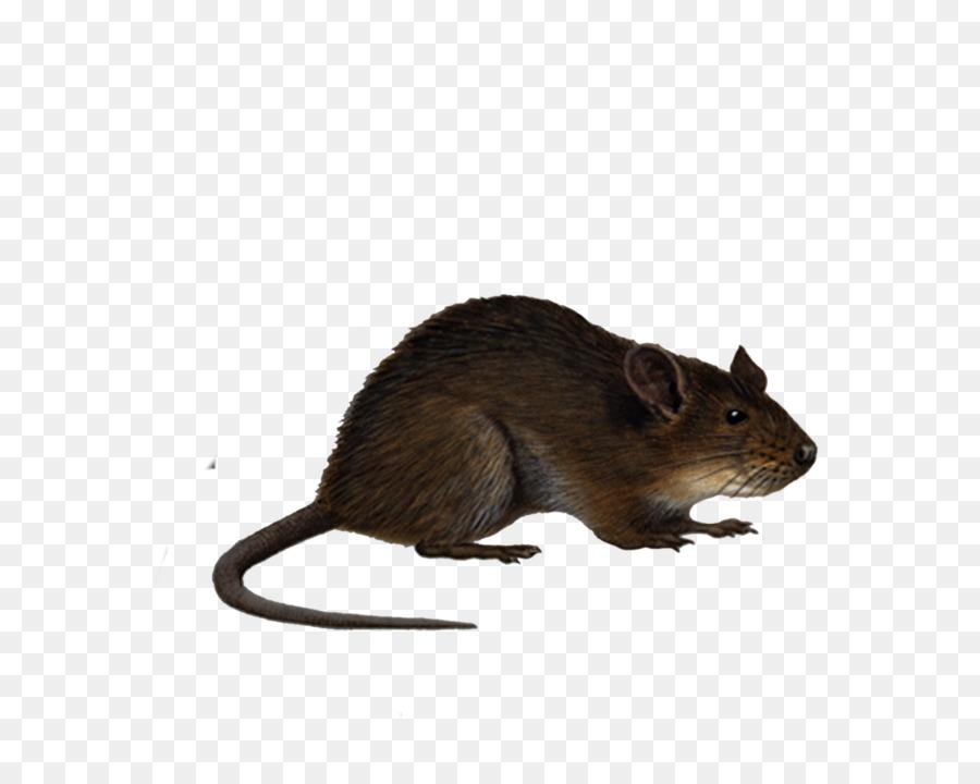 Ratón rata Negra Clip art - Rata Y Ratón png dibujo - Transparente ...