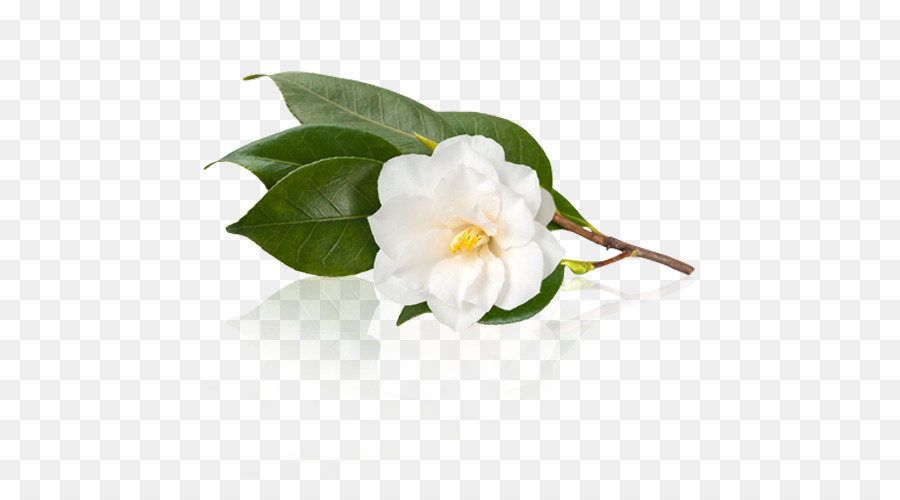 White tea camellia sinensis japanese camellia camellia oleifera white tea camellia sinensis japanese camellia camellia oleifera tea leaves mightylinksfo