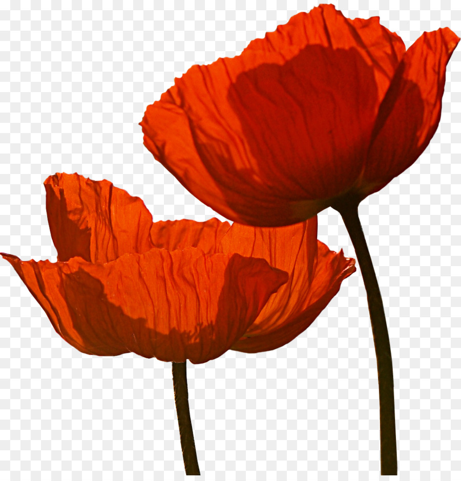 Poppies martinborough wine anzac day armistice day poppy png poppies martinborough wine anzac day armistice day poppy mightylinksfo
