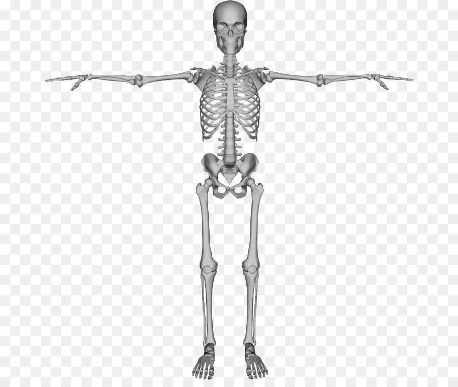 Esqueleto humano Huesos Clip art - Esqueleto Formatos De Archivo De ...