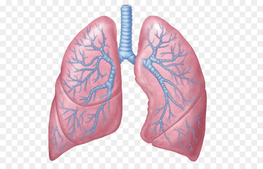 Lung Anatomy Respiratory System Respiration Human Body Personal