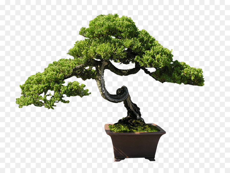 Rbol de los bonsais de interior clip art bonsai for Bonsais de interior