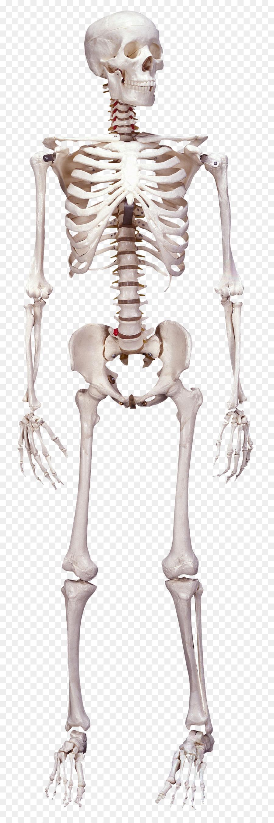 Human skeleton Human body Bone Anatomy - Skeleton png download ...