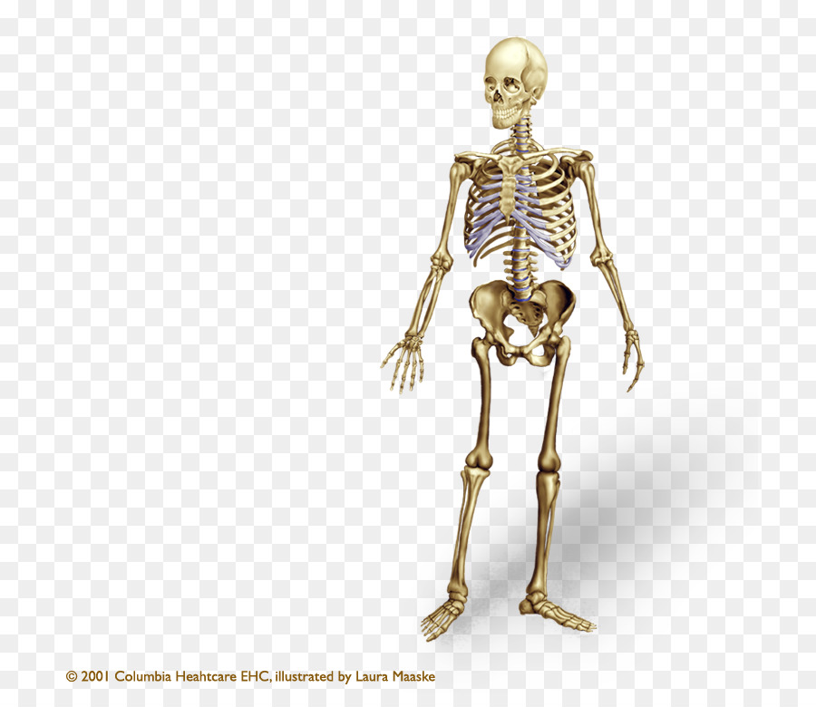 Human skeleton Human body Bone Anatomy Axial skeleton - Skeleton png ...