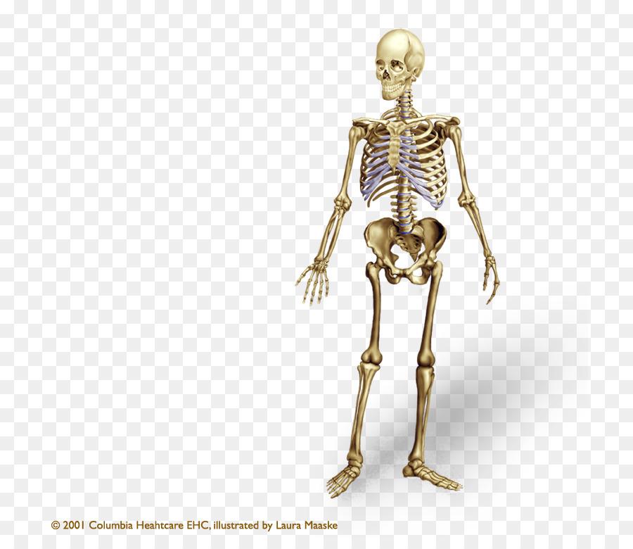 Esqueleto humano cuerpo Humano Hueso de la Anatomía del esqueleto ...