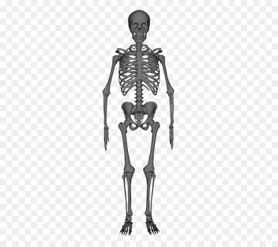 Human Skeleton Anatomy Stock Photography Skeleton Png Download