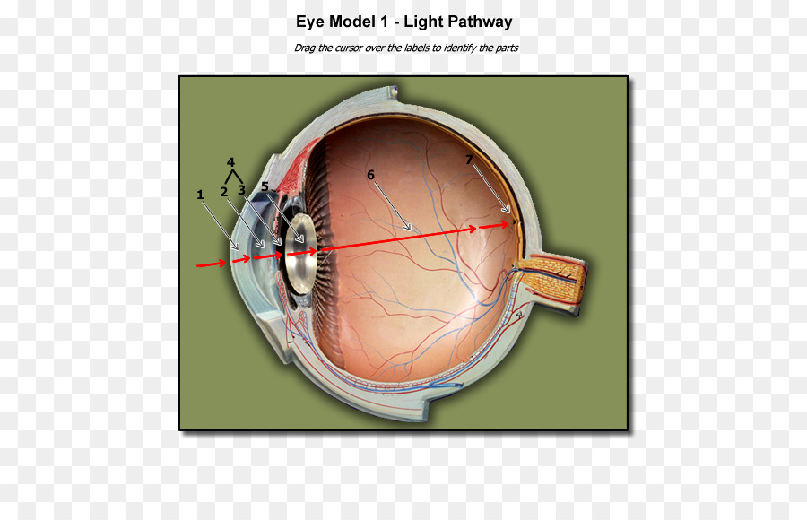 Light Human Eye Anatomy Blind Spot Organs Png Download 600575