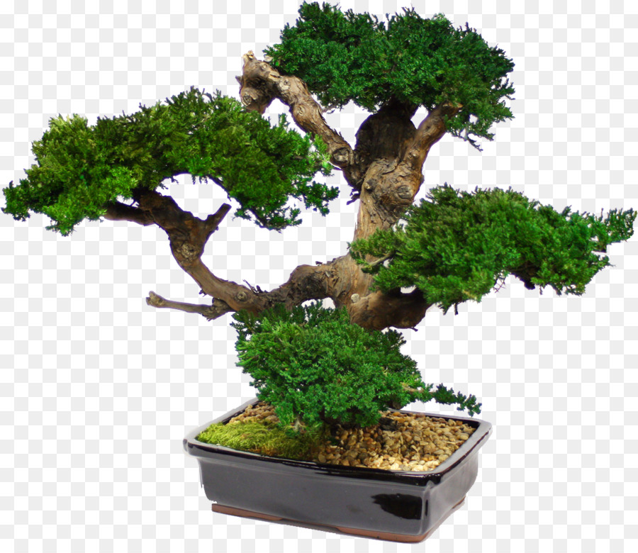 Bonsai Tree Japanese Maple Garden Interior Design Services