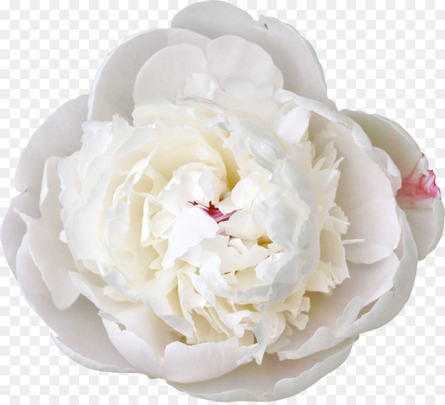 Cut flowers white peony peony png download 24262198 free cut flowers white peony peony mightylinksfo