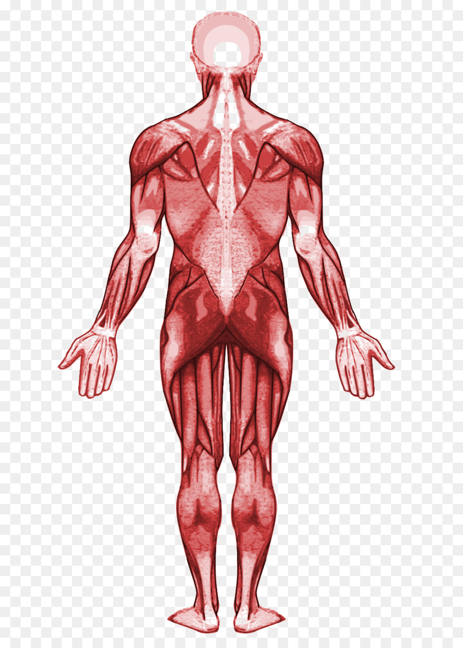 Muscle Human anatomy Muscular system Human body - human body png ...