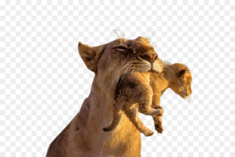baby lions lion cubs cougar cat lion head png download 600 600