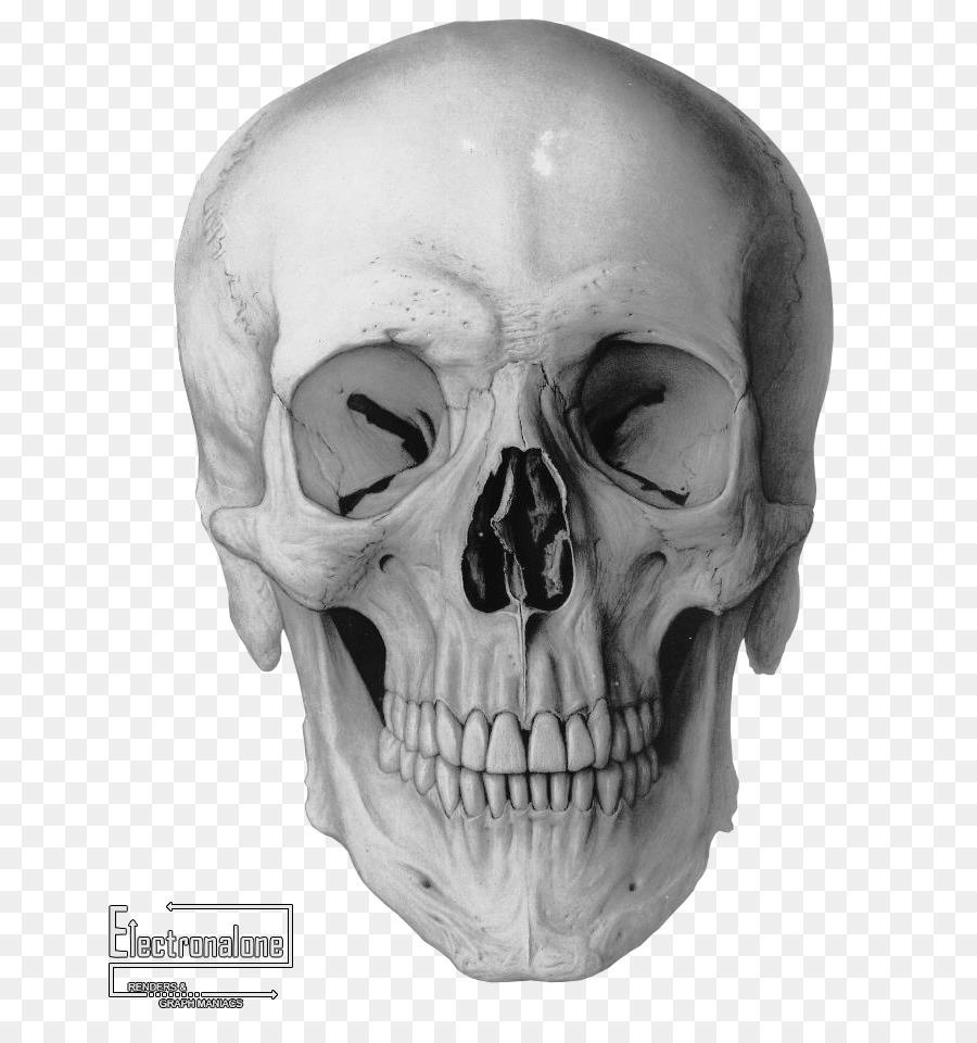 Human skull Drawing Frontal bone Homo sapiens - crane png download ...