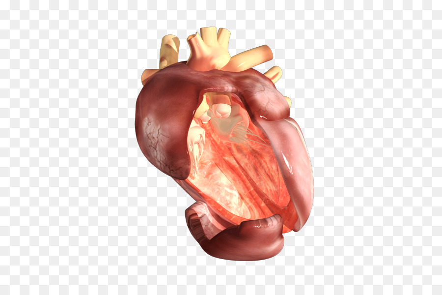 Pigs ear organism human body heart human heart png download 501 pigs ear organism human body heart human heart ccuart Images