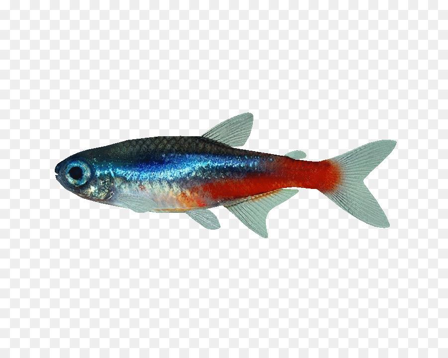 Fish Neon tetra Mondo Cucciolo Di Dalpozzo Alessandra Aquarium ...