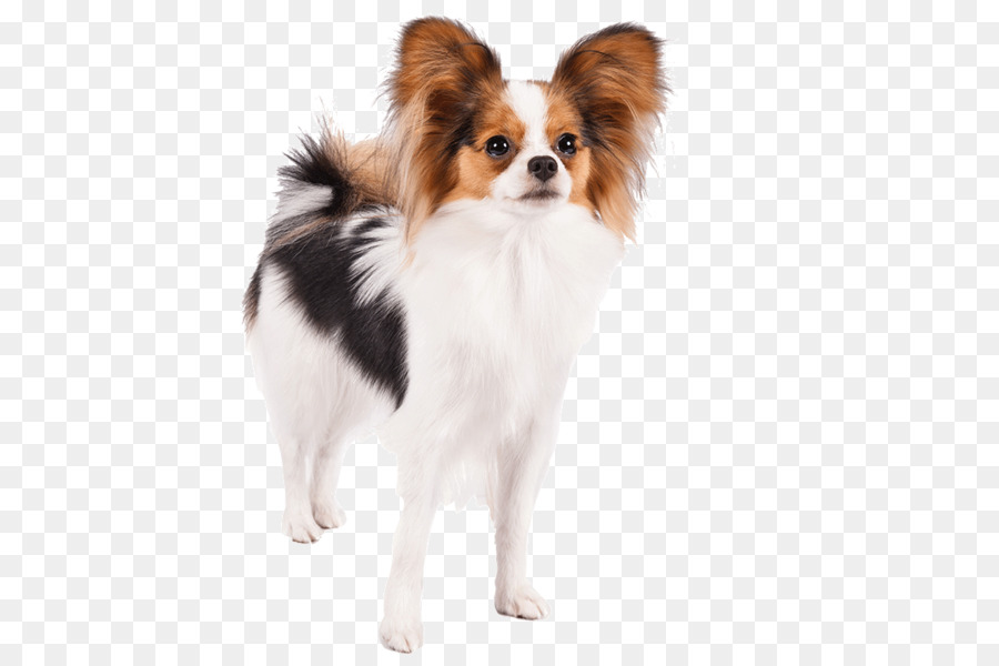 Papillon Hund Jack Russell Terrier Mops Deutscher Schäferhund