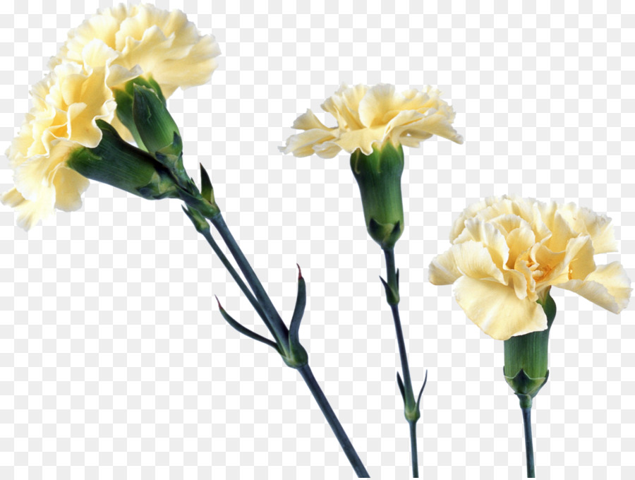 Yellow carnation flower carnation png download 1200903 free yellow carnation flower carnation mightylinksfo