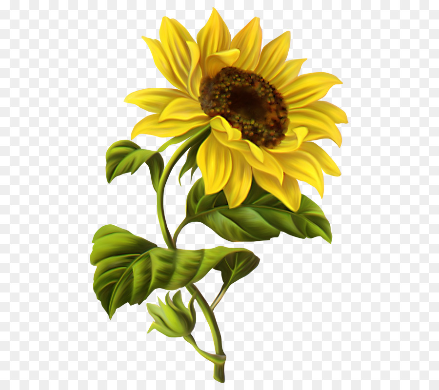Common Sunflower Drawing Watercolor Painting Clip Art