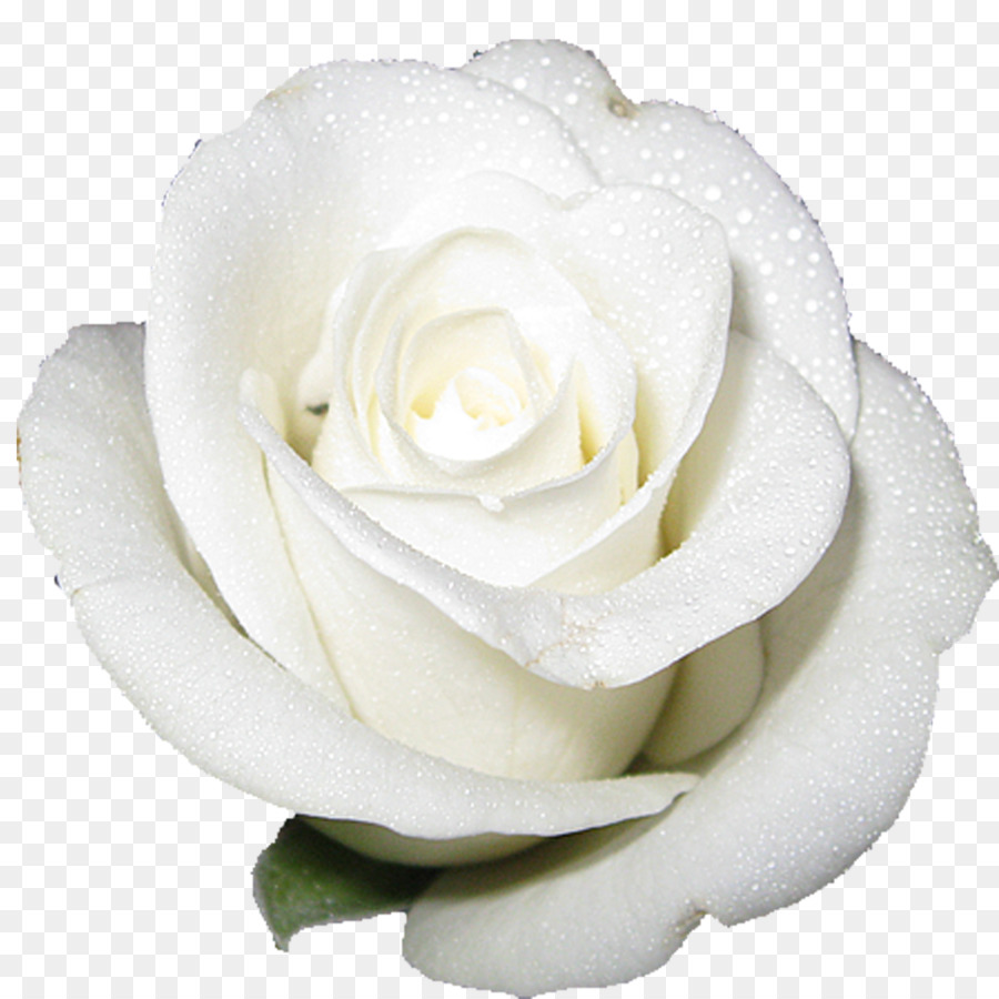 Cut Flower Roses White White Rose Png Download 15001500 Free