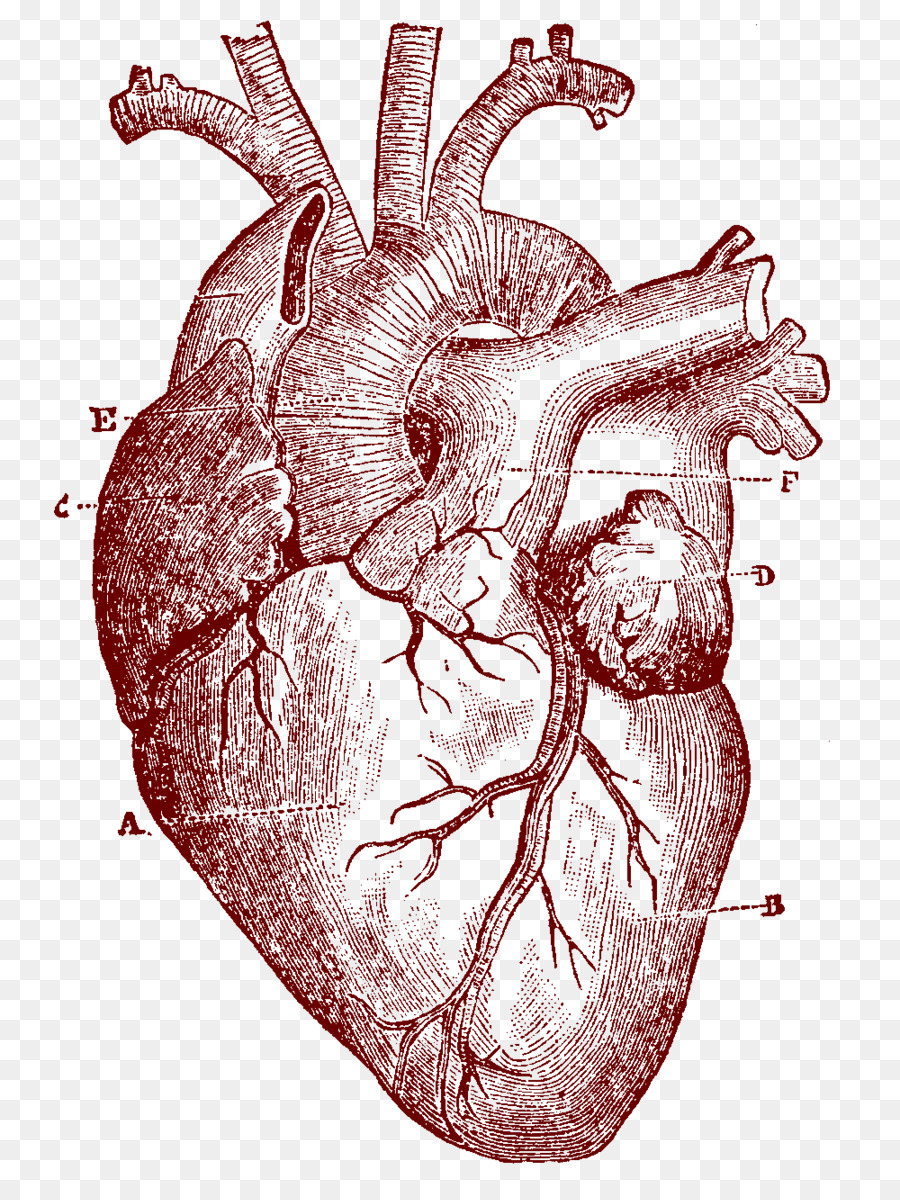 Heart Human anatomy Human body Clip art - human heart png download ...
