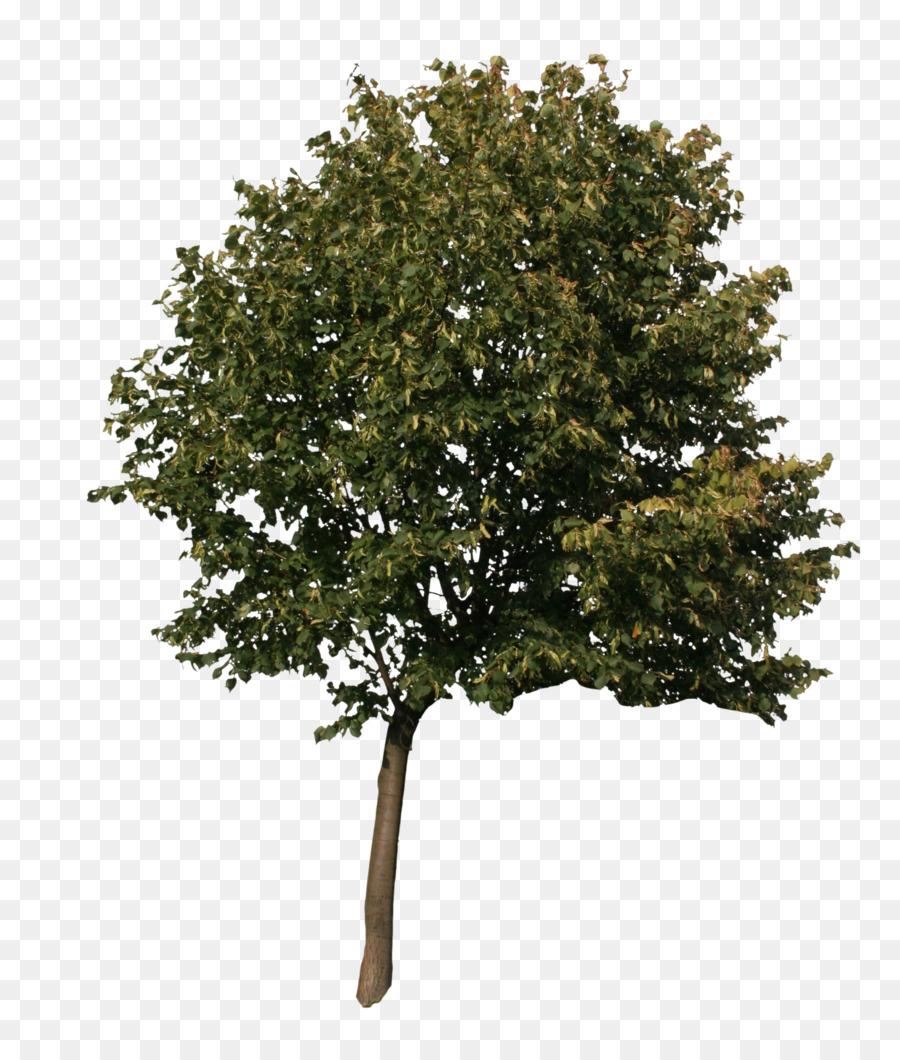 american sycamore quercus acutissima english oak tree 3d american flag graphics pics american flag graphics for boats