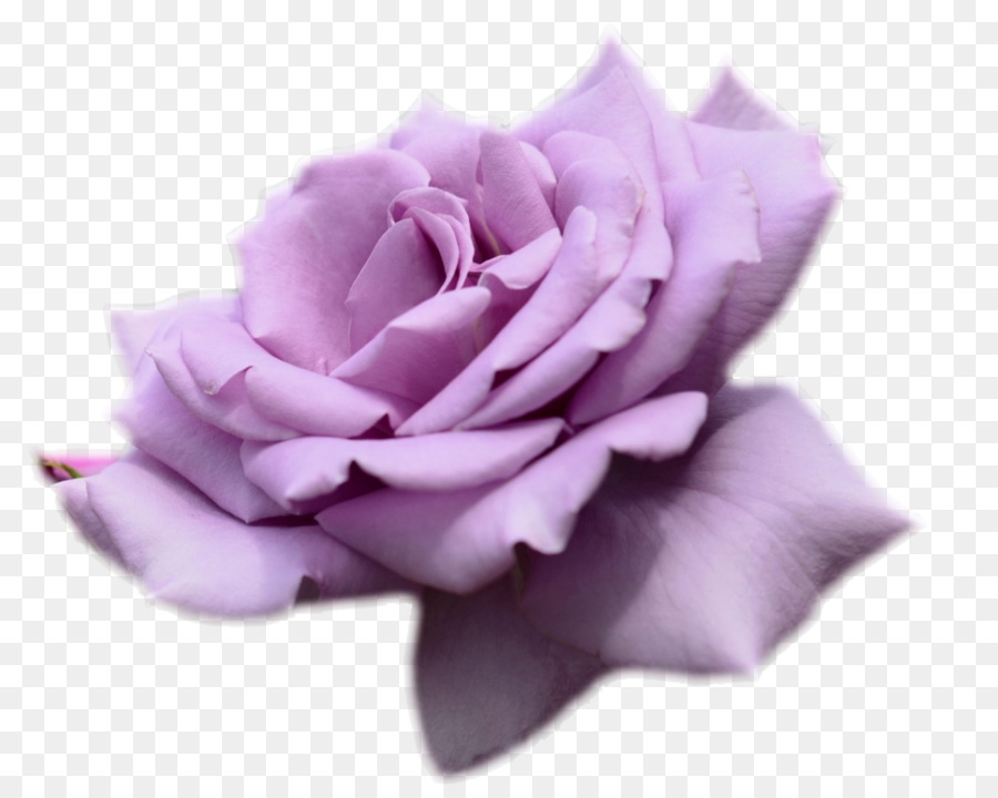 Rose Flower Desktop Wallpaper Purple Lavender