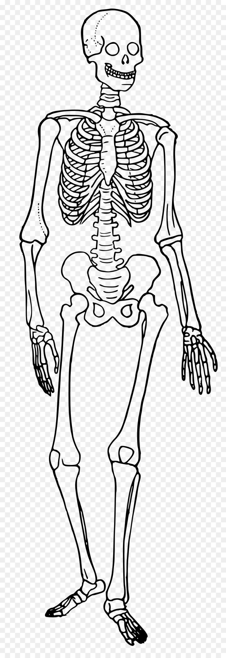 The Skeletal System Human skeleton Human body Diagram Bone ...