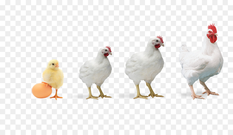 broiler chicken poultry farming poultry feed chickens rooster vector silhouette free rooster vector icon