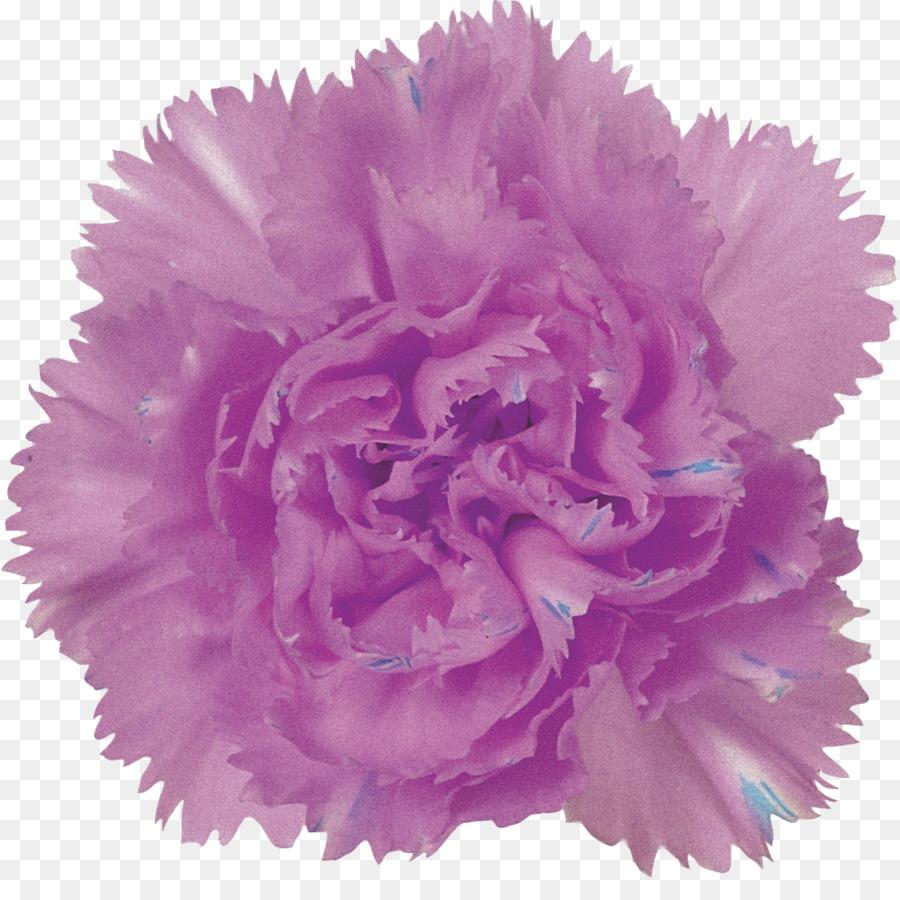 Purple Carnation Flower Pink Lilac Carnation Png Download 1128