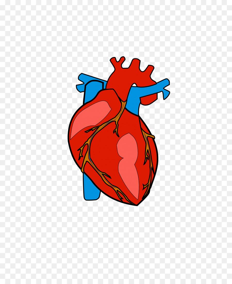 Heart Anatomy Clip art - human heart png download - 768*1086 - Free ...