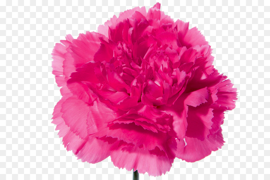 Carnation Flower bouquet Pink flowers - CARNATION png download ...