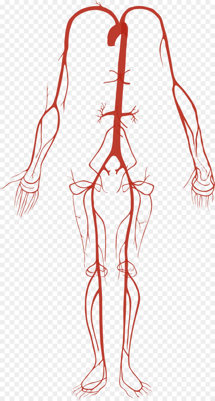 Artery Human Body Circulatory System Anatomy Anatomy Png Download