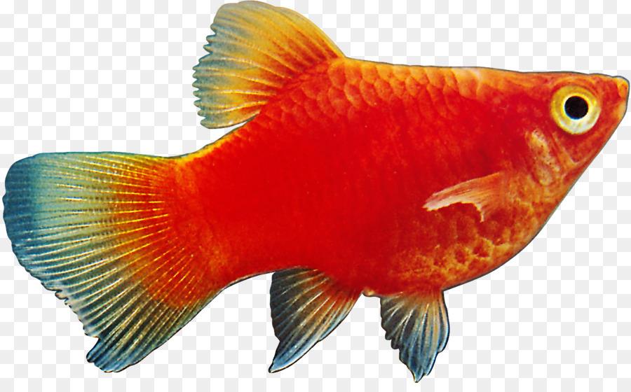 Ornamental Fish Megabyte Fish Png Download 1421 866 Free