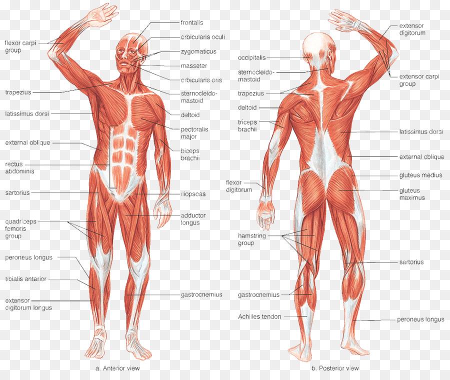 Muscular System Human Body Muscle Human Skeleton Anatomy Anatomy