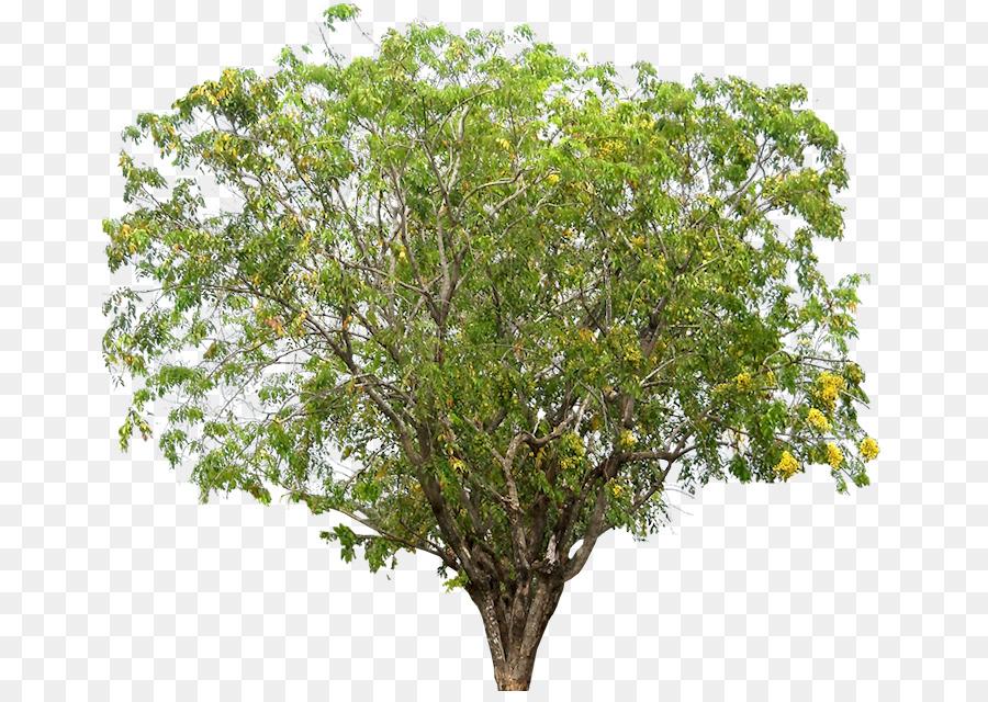 Narra Tree Dalbergieae Rosewood Plumeria Png Download 713 630