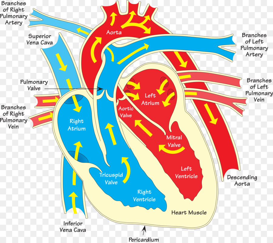 Heart Diagram Vein Clip Art Human Heart Png Download 24002122