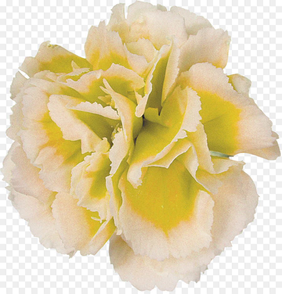 Flower Photography Yellow Carnation Png Download 11211162