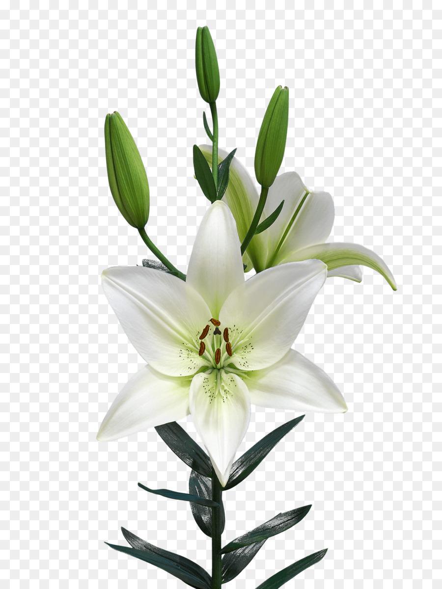 Lilium Netherlands Royal Van Zanten Flowering Plant Pagani Png